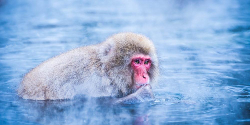 Wandbild Snow monkey Japan